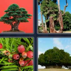 4 fotos 1 palabra árboles frutos rojos